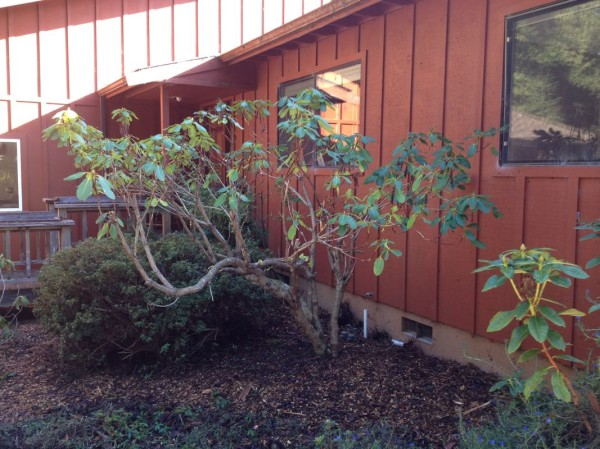 Ted did a great job pruning this rhododendron