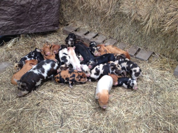Not to mention––piglets!