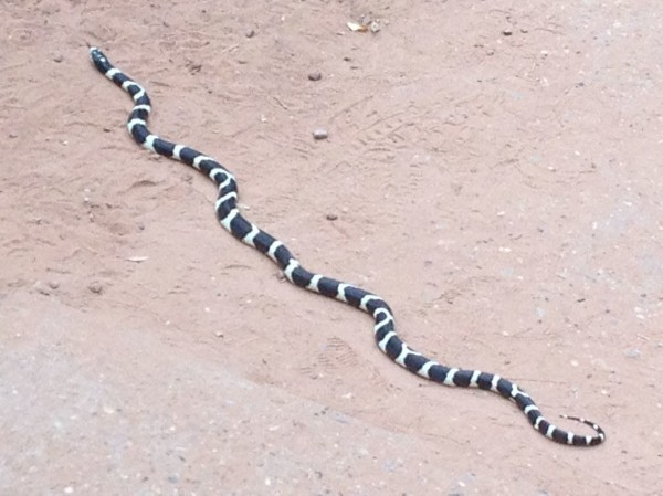 Zion king snake