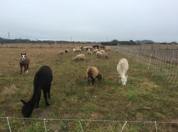The ruminant herd